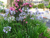 Agapanthus sp., African Lily
