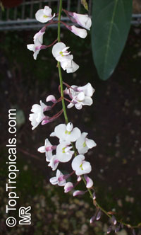 Hardenbergia sp. , Coral Pea