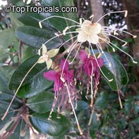 Capparis cynophallophora - Jamaica Caper   Click to see full-size image