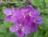 Asystasia gangetica - Ganges Purple Primrose