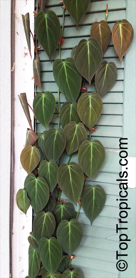 philodendron scandens  philodendron cordatum  philodendron