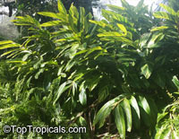 Alpinia zerumbet 'Variegata', Variegated gingerClick to see full-size image