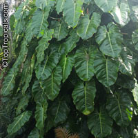 Philodendron sp., Philodendron