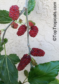 Morus alba Issai - dwarf Mulberry