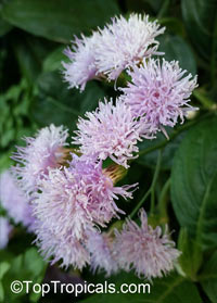Vernonia sp., IronweedClick to see full-size image