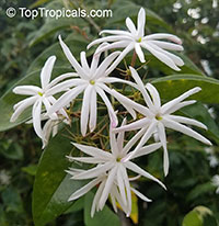 Jasminum nitidum - Star Jasmine, 1 gal  Click to see full-size image