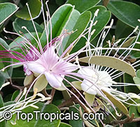 Capparis cynophallophora - Jamaica Caper 