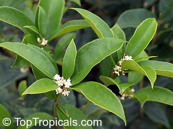 Osmanthus Fragrans Tea Olive Fragrant Olive Sweet Olive