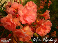 Nerium oleander Mrs. Isadore Dyer Double OrangeClick to see full-size image