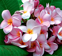 Plumeria Moung Poung, grafted