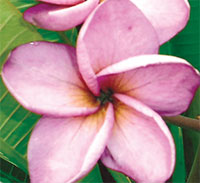 Plumeria Moung Jack, grafted